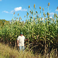 sorghum growing in mississippi